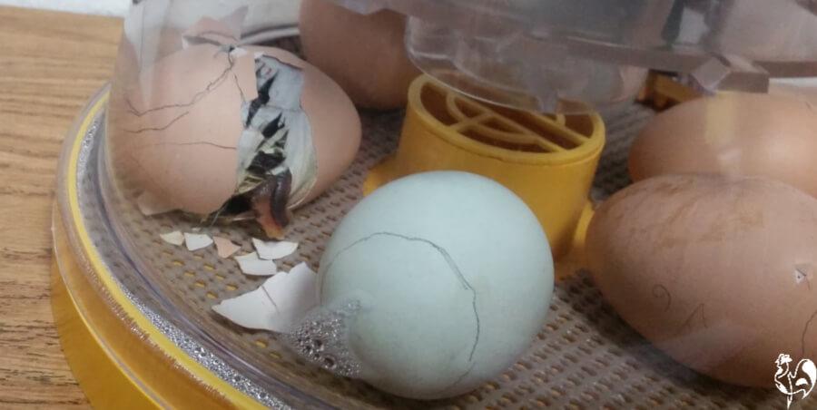 My Brinsea Octagon 20 incubator.