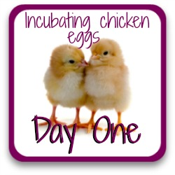 How to incubate and hatch chicken eggs - day 1