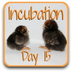 Go back a step to incubation, day 15.