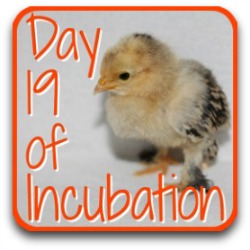 Go back to day 19 of incubation.