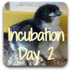 Wanting to know what happens on day 2 of incubation? Just click here!