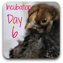 Incubating chicken eggs - day 6 link
