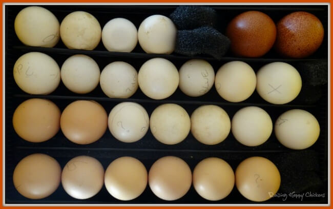 Chicken eggs in an incubator.