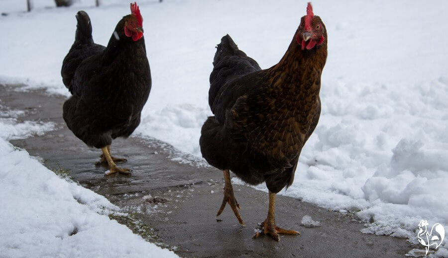 Keeping backyard chickens warm in winter - What temperature to keep house in winter when gone ...