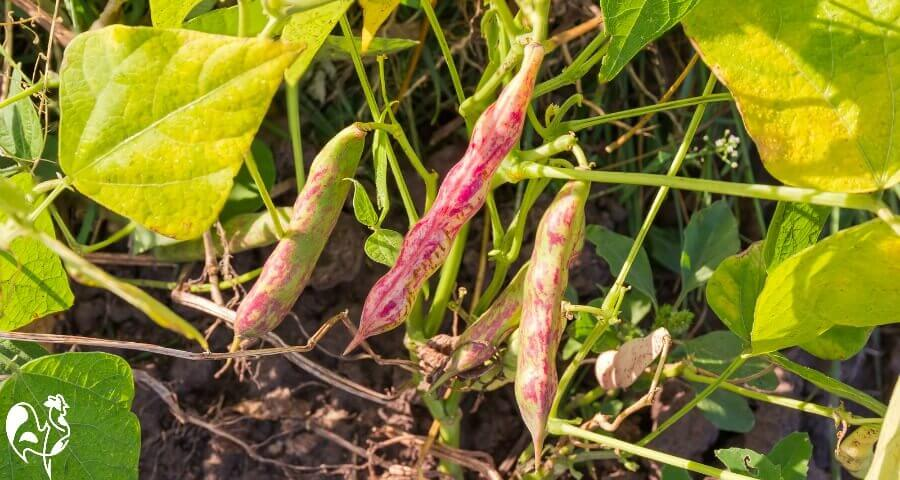 Kidney bean plants - keep your chickens away!