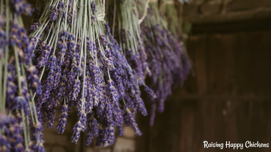 Lavender hanging in bunches in the chicken coop.