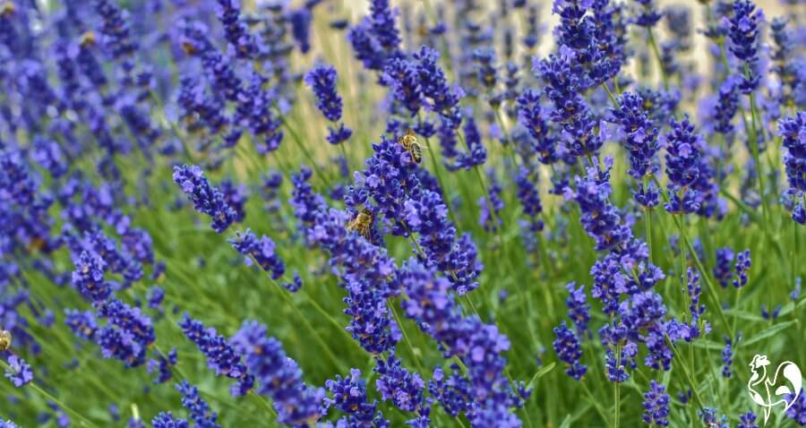Lavender field with bees.