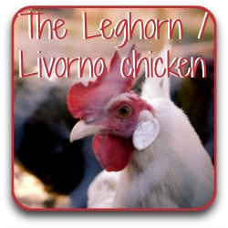 The Livorno, or Leghorn chicken.