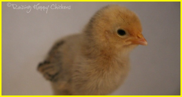 A Lemon Millefleur Sablepoot chick, aged four days.