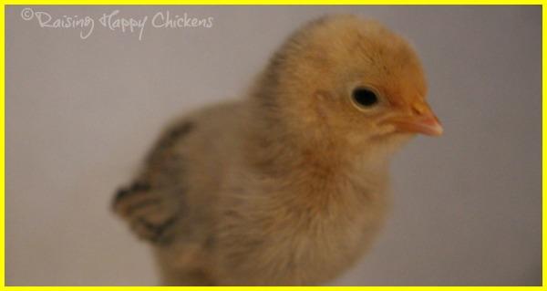 A Lemon Millefleur Sablepoot chick, aged four days.