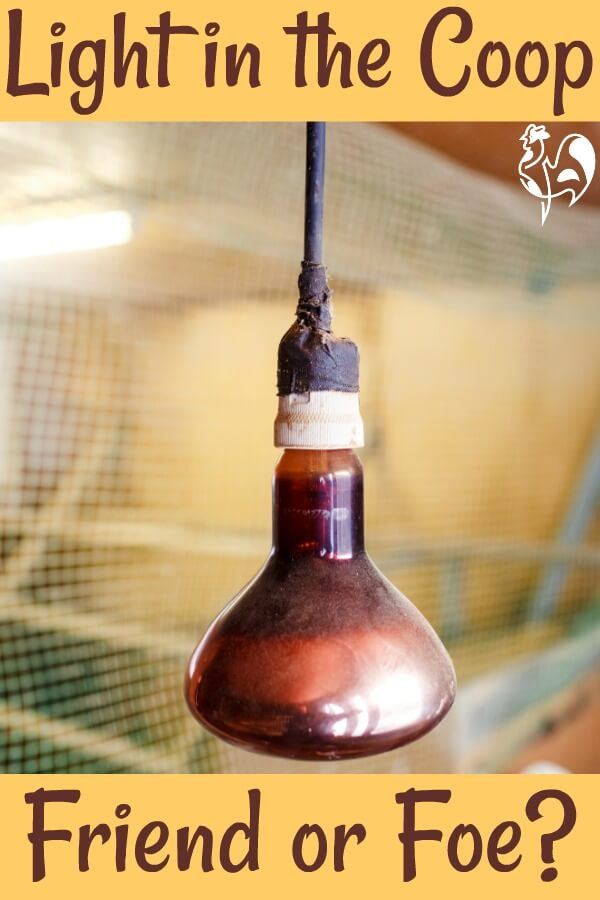 Light in the chicken coop - friend or foe? Pin for later.