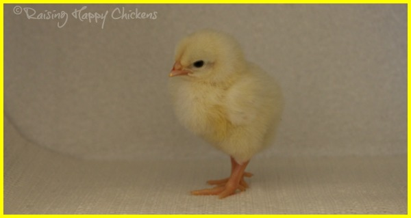 A Light Sussex chick two days after hatching.