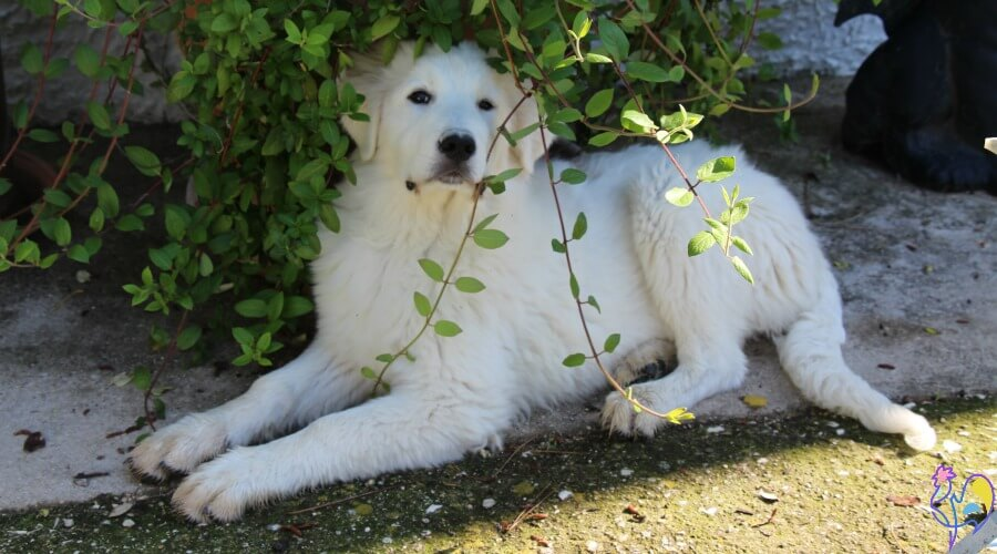 Luce, the Maremma Livestock Guardian Dog, in the chicken run. Could her presence have contributed to my hen's sudden death?