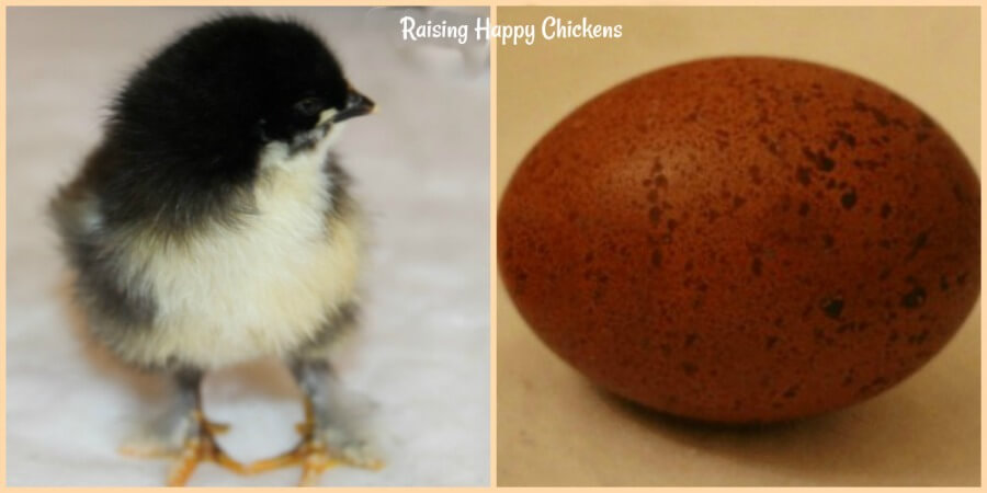 A Marans chick with the perfect egg it hatched from.