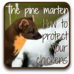 Chicken predators - the pine marten - link.