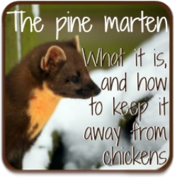 The pine marten: how to protect chickens from this flock predator.