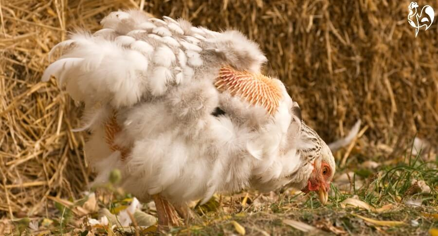 Pin feathers in a moulting white hen.