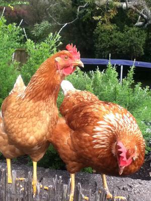 My Beloved Friends Chicken Feathers And Haggis
