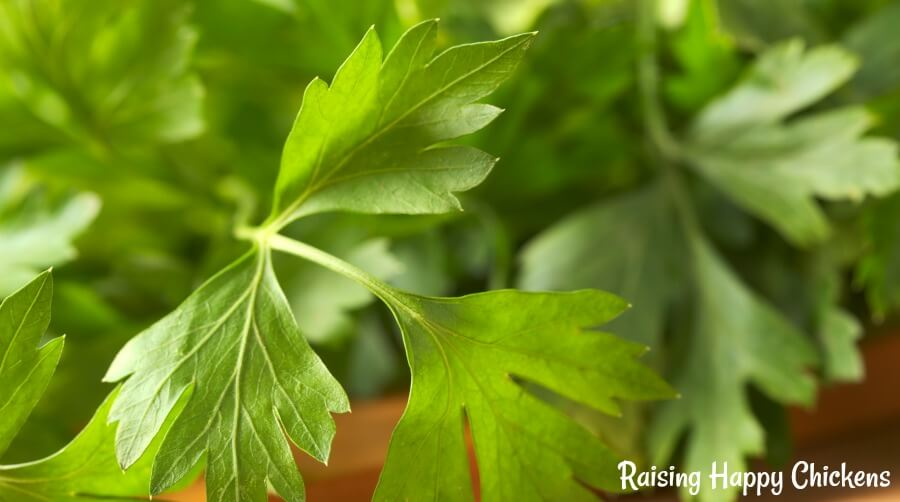Parsley - a healthy source of protein for chickens in need of a boost. Mix it in with their food.