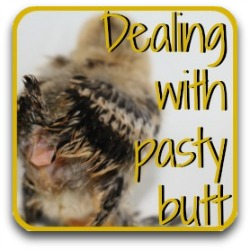 How to deal with pasty butt in chicks - link.