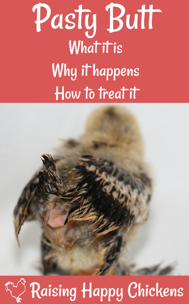 Pasty butt in baby chicks is fairly common, and can be fatal if not prevented. This article explains how to spot, treat and prevent it..