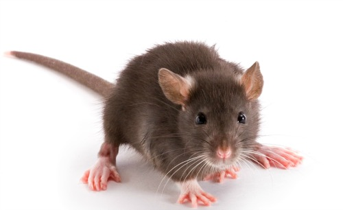 Just two brown rats will quickly multiply
