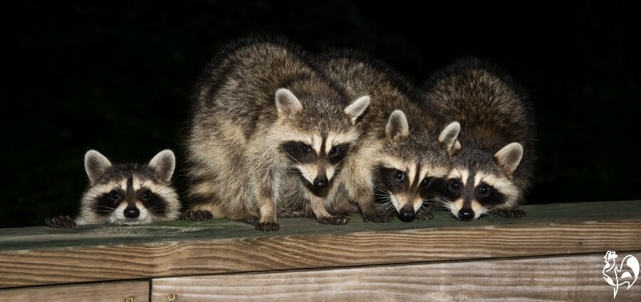 Raccoon facts: 14 tips to protect your chickens from attack.