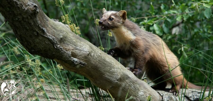 Pine marten sitting on log.