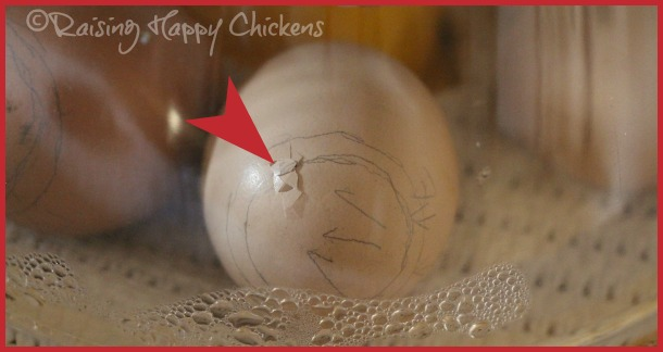 A chick pipping at Day 21 of incubation.