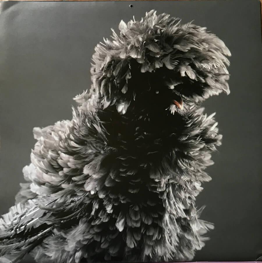 November's chicken - a white crested black Polish.