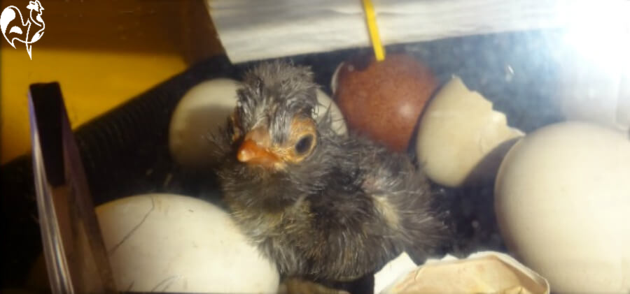 One of my Polish (Poland) chicks, two hours post-hatch.