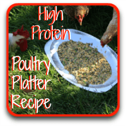 Click for a recipe using high protein foods for healthy, happy hens.