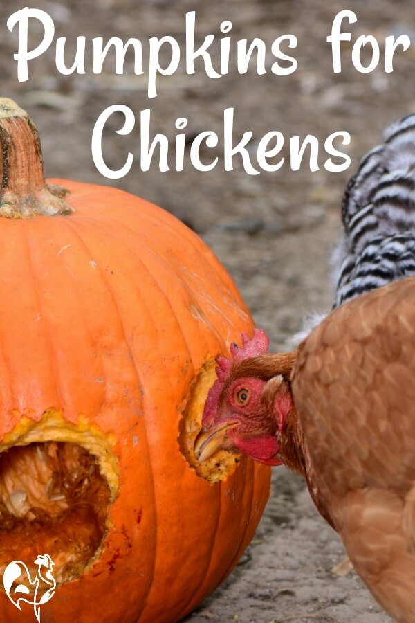 Why are pumpkins good for chickens? Pin for later!