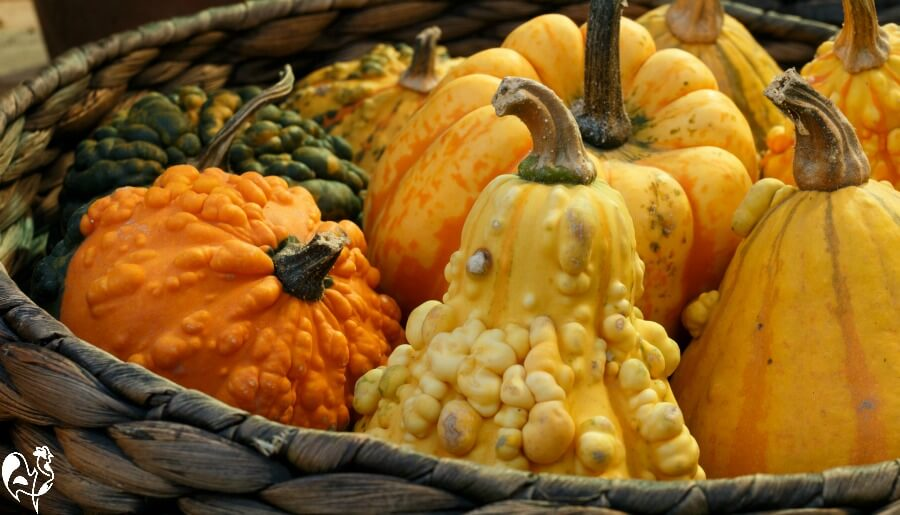 Squash varieties - all of them are good for chickens.