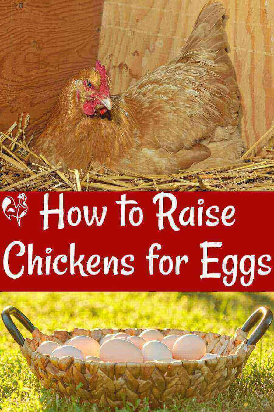 Raising Ens For Eggs Basic