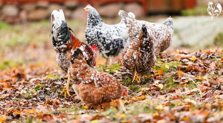 Chickens in autumn leaves - a colourful combination!