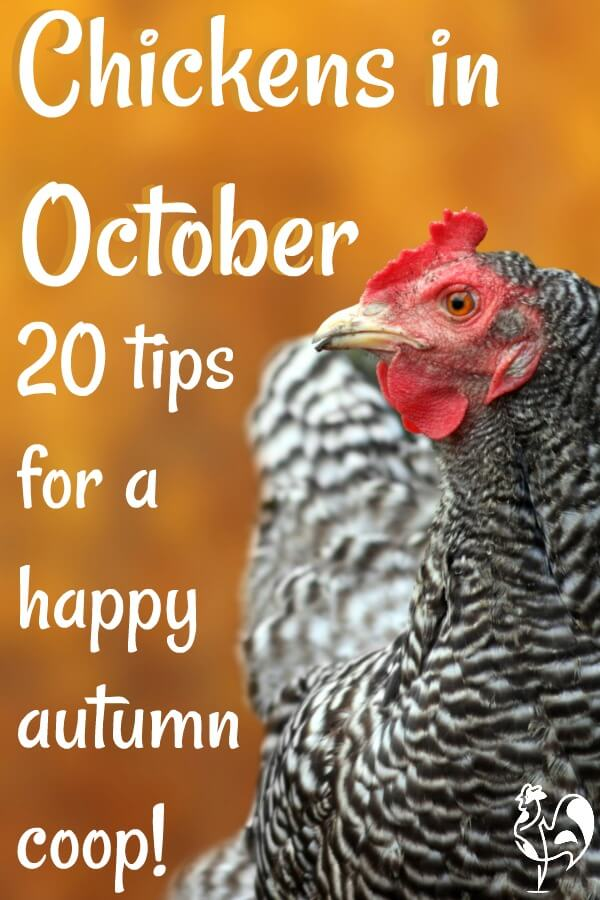 Caring for chickens in October - Pin for later.