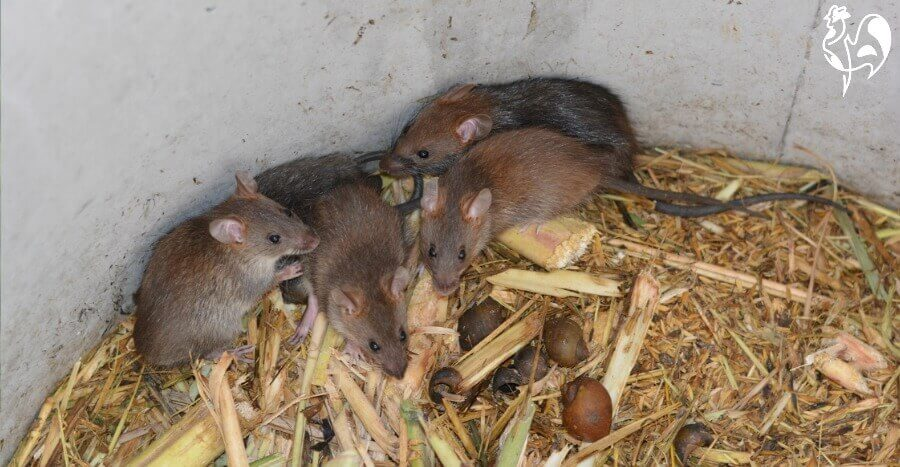 Rats in barrel.