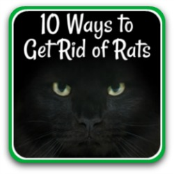 Rats, mice and how to keep them away from your chickens