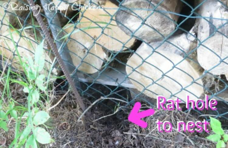 Rat poison: is it safe to use in your chicken coop?