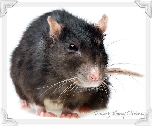A rat will be attracted by poor husbandry