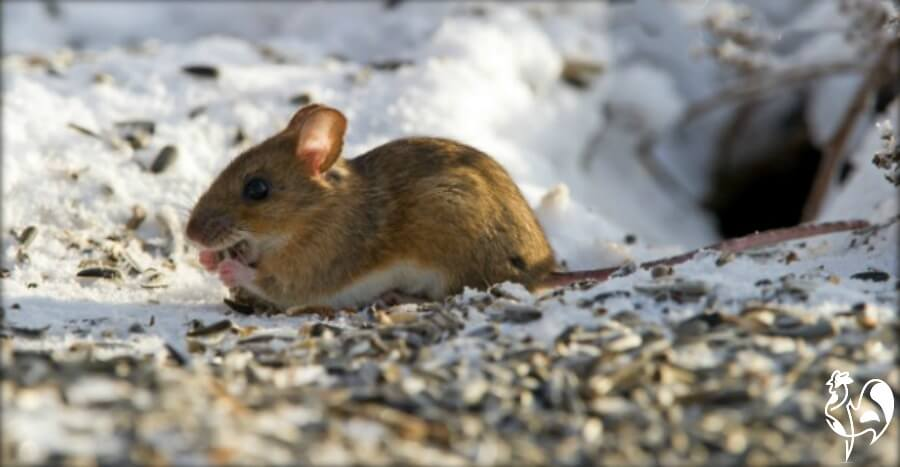 Rats and mice try to find food in the winter months.