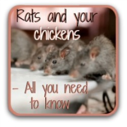 All about rats in the chicken coop - link.