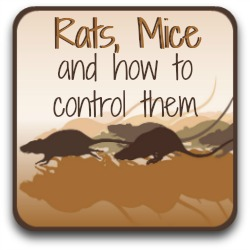 Click for information about what doesn't work in getting rid of rats.
