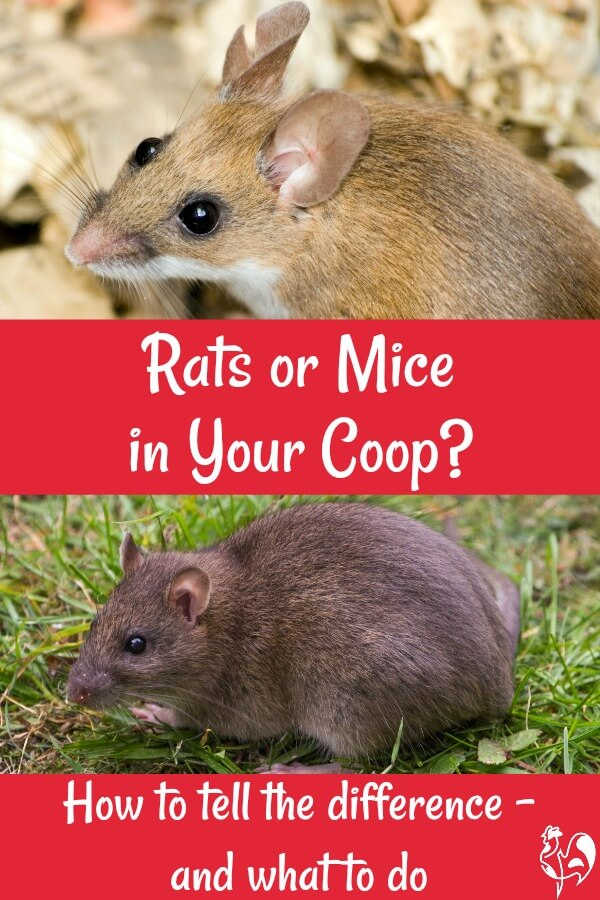 rat droppings and backyard chickens critical things you need to know