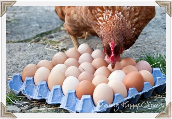 A Red star hen looking at eggs.