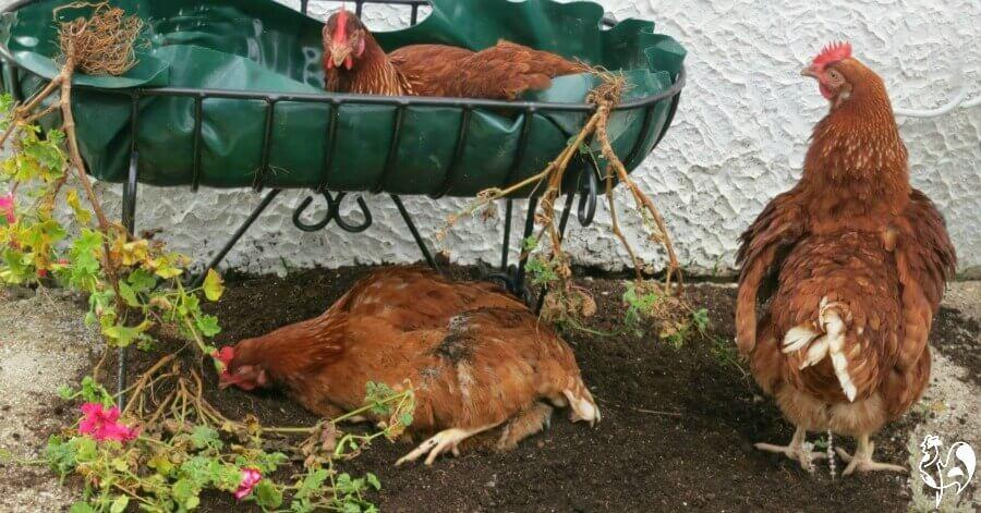 Red Star chicken in a plantpot.