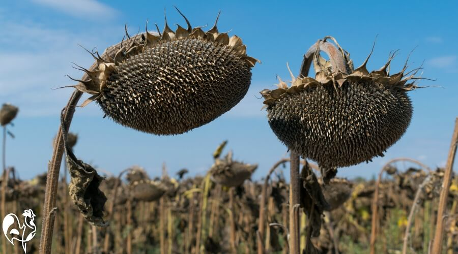 Ripened sunflower heads hanging in the sun.