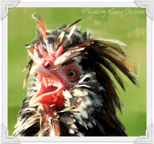 A crowing rooster.