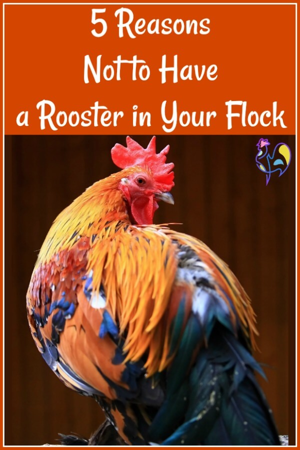 #rooster #backyardchickens  Having a rooster in your flock can be fun, and good for the hens.  But there can also be problems. Find out what the top 5 issues are, here.